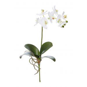 Rogue Phalaenopsis Plant White 22x9x41cm