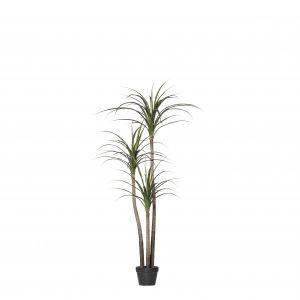 Rogue Dracaena Marginata Tree Green 100x90x160cm
