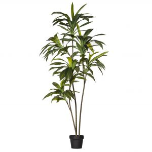 Rogue Dracaena Fragrans Tree Green/Black 90x80x160cm
