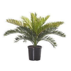 Rogue Cycas Bush Mini-Garden Pot Green/Black 44x40x33cm