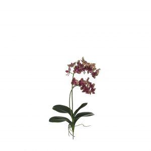 Rogue Black Label RB Mini Phalaenopsis Plant Green Burgundy 30x30x56cm