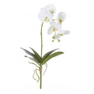 Rogue Deluxe Phalaenopsis Plant White 24x24x51cm
