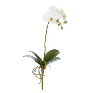 Rogue Phalaenopsis Plant White 19x12x48cm
