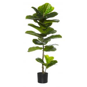 Rogue Giant Fiddle Plant Green 50x50x110cm