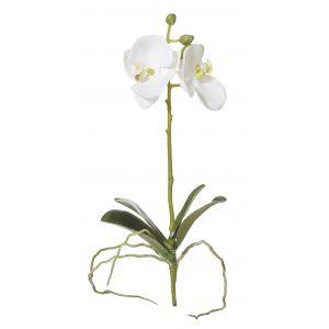 Rogue Phalaenopsis Plant White 12x6x29cm