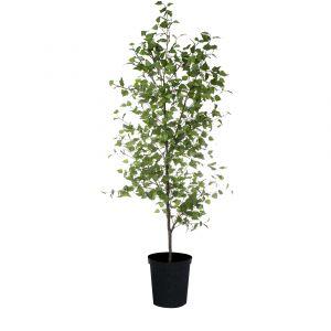 RB Grand Birch Tree 32.910.12