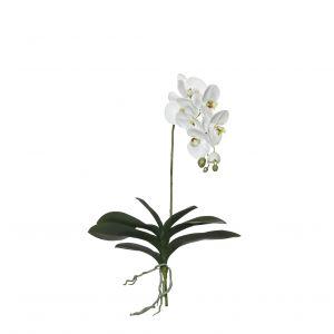 Rogue Black Label RB Grand Phalaenopsis Plant White 39x15x76cm