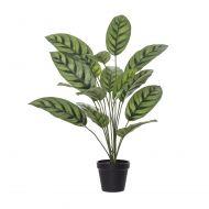 Rogue Calathea Plant-Garden Pot Green/Black 53x53x65cm